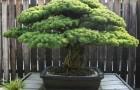 Растения для японского сада: японская белая сосна