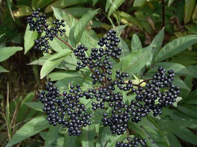 Растения для живой изгороди: бузина черная