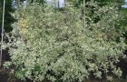 Растения для живой изгороди: дерен