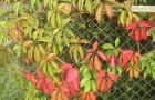 Растения для живой изгороди: девичий виноград пятилисточковый