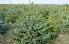 Растения для живой изгороди: ель колючая