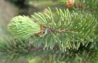 Растения для живой изгороди: ель обыкновенная