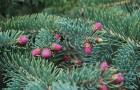 Растения для живой изгороди: ель сизая коническая