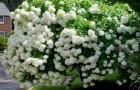 Растения для живой изгороди: гортензия