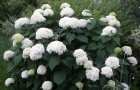 Растения для живой изгороди: гортензия древовидная