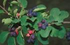 Растения для живой изгороди: ирга