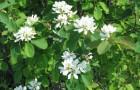 Растения для живой изгороди: ирга колосистая