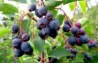 Растения для живой изгороди: ирга круглолистная