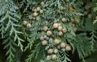 Растения для живой изгороди: кипарисовик Лавсона