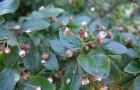 Растения для живой изгороди: кизильник