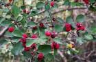 Растения для живой изгороди: кизильник цельнокрайний, обыкновенный