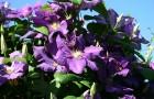 Растения для живой изгороди: клематис, ломонос