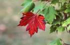 Растения для живой изгороди: клен