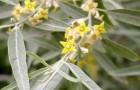 Растения для живой изгороди: лох серебристый, изменчивый