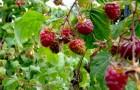 Растения для живой изгороди: малина обыкновенная