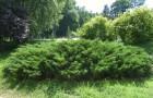 Растения для живой изгороди: можжевельник казацкий