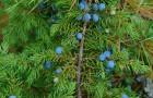 Растения для живой изгороди: можжевельник обыкновенный