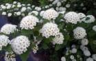 Растения для живой изгороди: пузыреплодник калинолистный