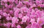 Растения для живой изгороди: рододендрон