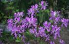 Растения для живой изгороди: рододендрон канадский