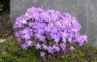 Растения для живой изгороди: рододендрон плотный