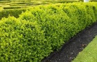 Растения для живой изгороди: самшит вечнозеленый