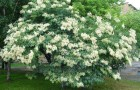 Растения для живой изгороди: сирень амурская