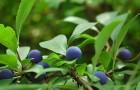 Растения для живой изгороди: слива колючая, тёрн