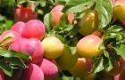 Растения для живой изгороди: слива вишнелистная, алыча
