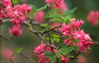 Растения для живой изгороди: смородина кроваво-красная