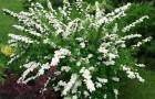 Растения для живой изгороди: спирея ниппонская
