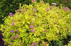 Растения для живой изгороди: спирея, таволга