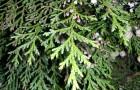 Растения для живой изгороди: туя западная, жизненное дерево