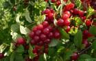 Растения для живой изгороди: вишня (микровишня) войлочная