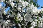 Растения для живой изгороди: яблоня