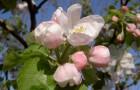 Растения для живой изгороди: яблоня замечательная