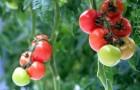 Сорт томата: Ребельски f1