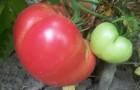 Сорт томата: Рекс f1