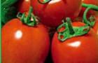 Сорт томата: Рио браво