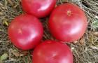 Сорт томата: Росита f1