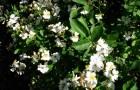 Роза многоцветковая