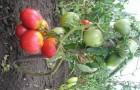 Сорт томата: Розовый царь