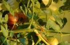 Сорт томата: Рустико f1