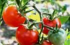 Сорт томата: Щелкунчик