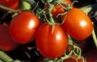 Сорт томата: Шарм