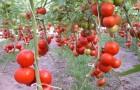 Сорт томата: Шеннон f1