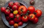 Сорт томата: Шираз f1