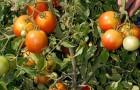 Сорт томата: Шива f1