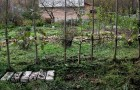 Шпалерные изгороди: пальметта Верье