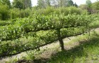 Шпалерные изгороди: пальметта с горизонтальными ветвями